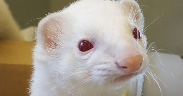 albino white ferret eyes