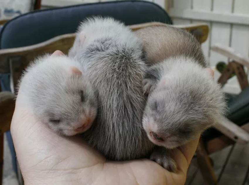 three baby ferrets eyes closed