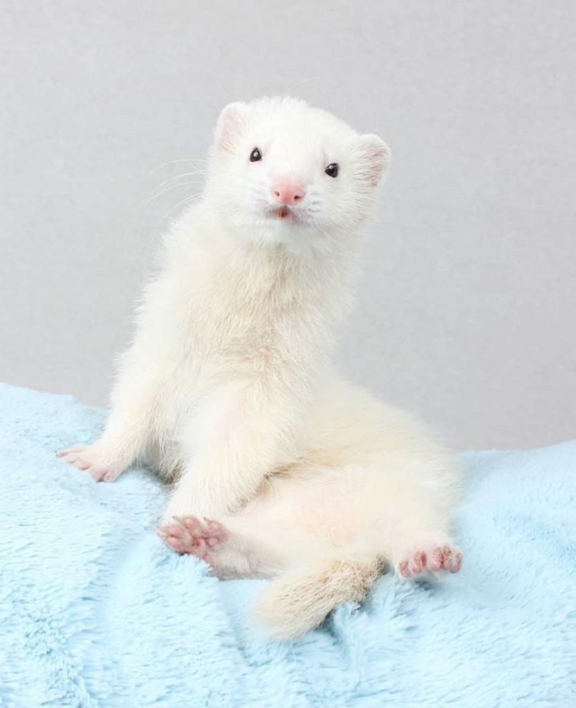 DEW dark eyed white ferret