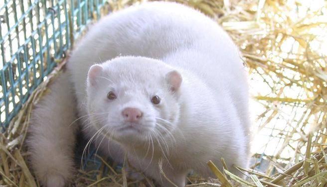 white mink vs. white ferret