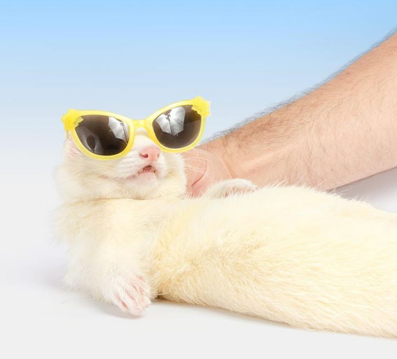 white ferret in yellow sunglasses