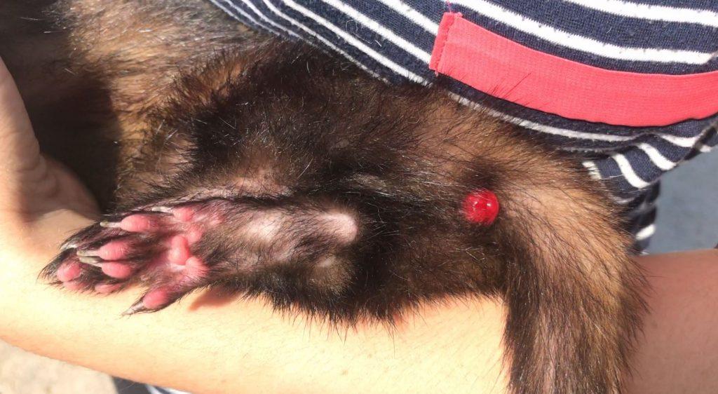 ferret prolapsed rectum