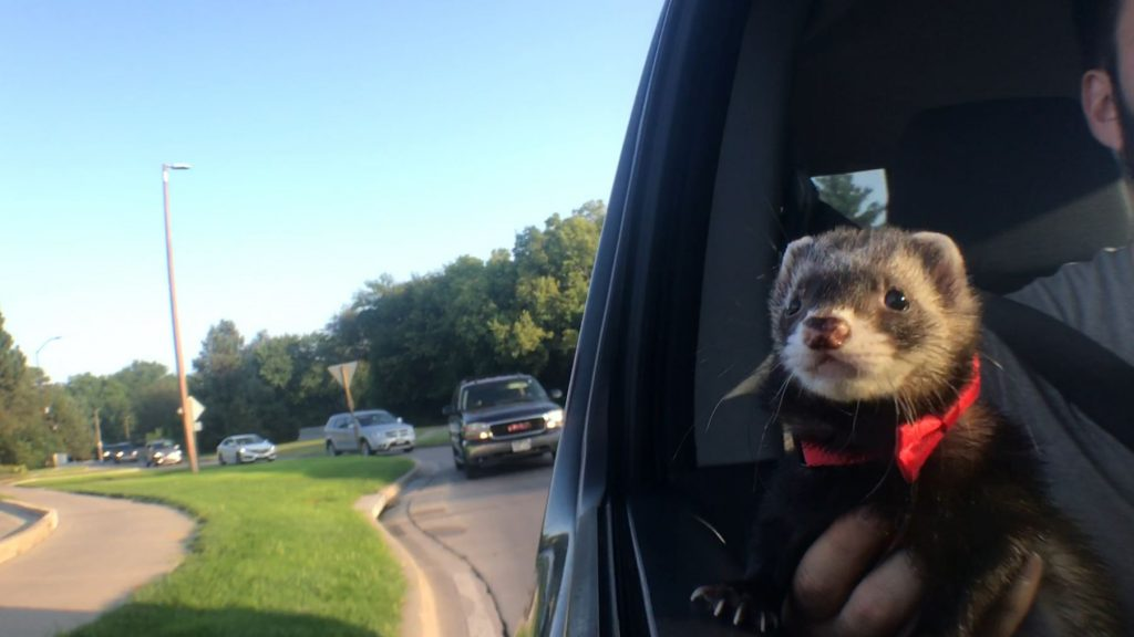 ferret in harness in car