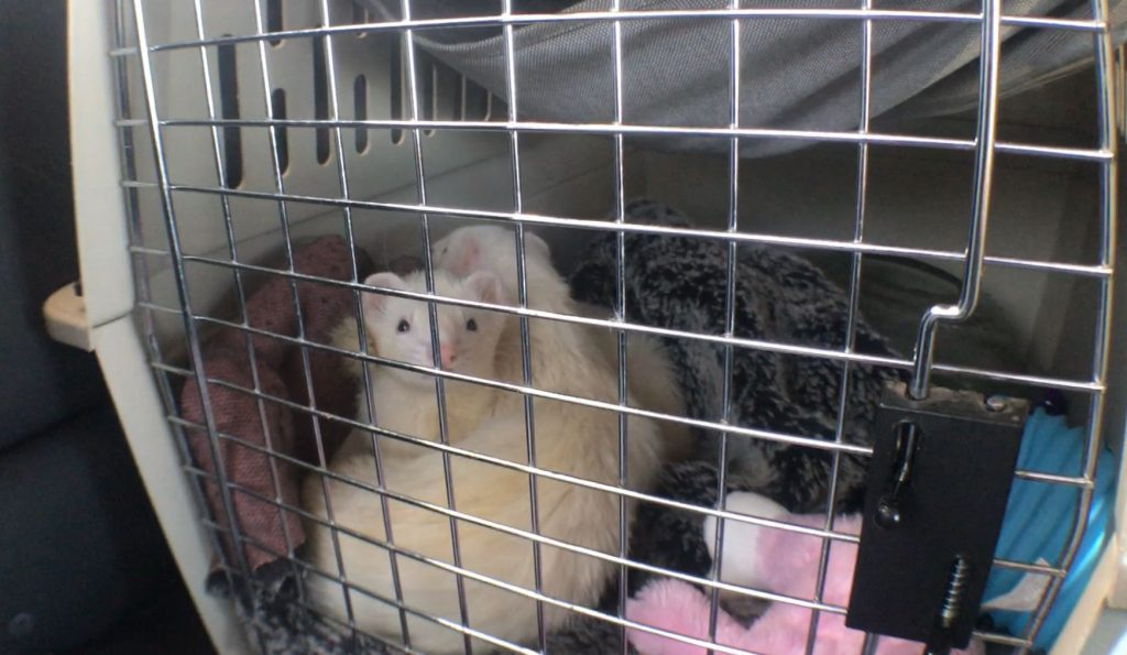 two ferrets in carrier on roadtrip to vet hospital