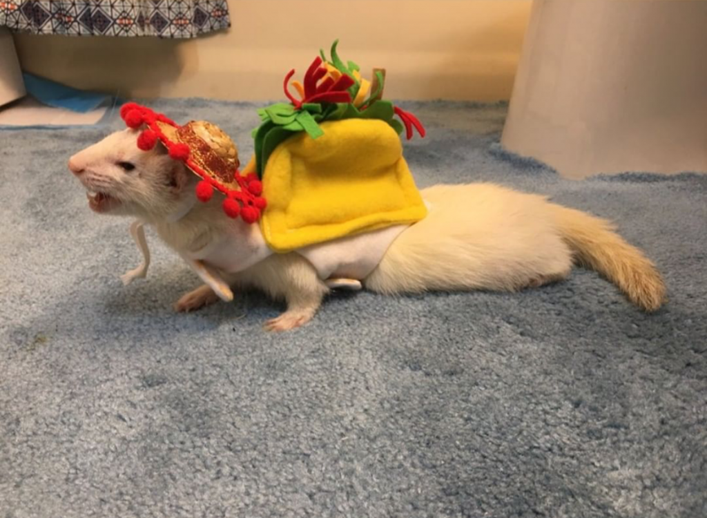 ferret in taco costume best ferret halloween costume