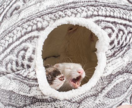 ferrets in sleep cocoon