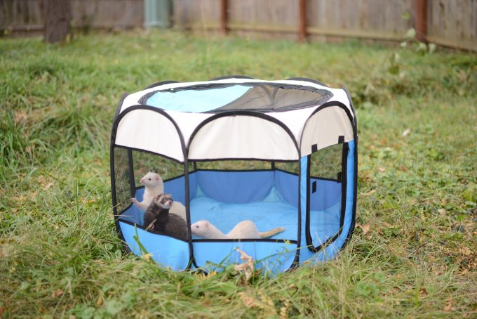ferret in play pen backyard
