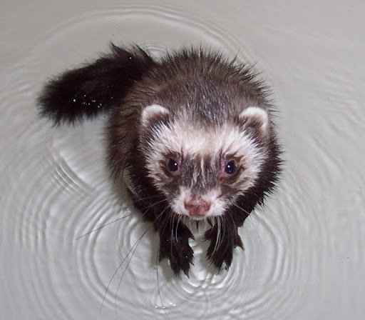 ferret myth bathing