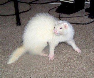 ferret myth smell