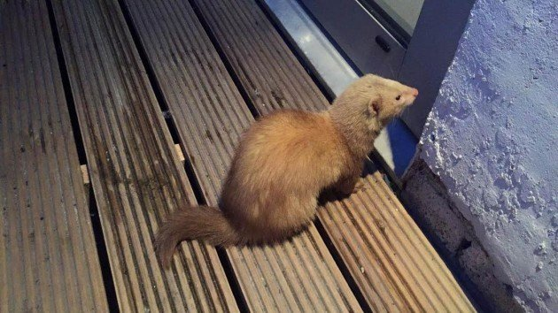 ferret proof your home escape
