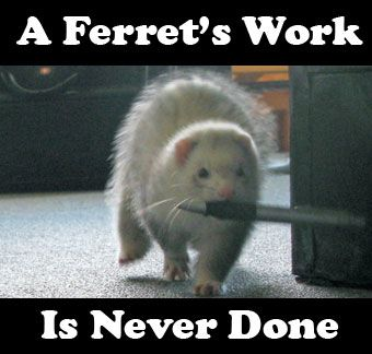 what is a ferret