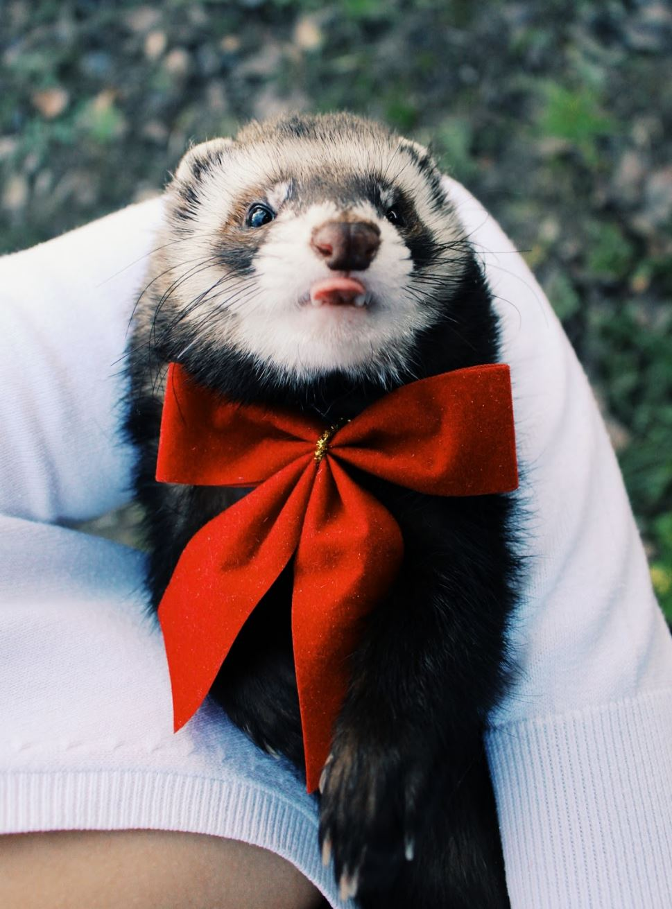 ferret-for-sale-cost