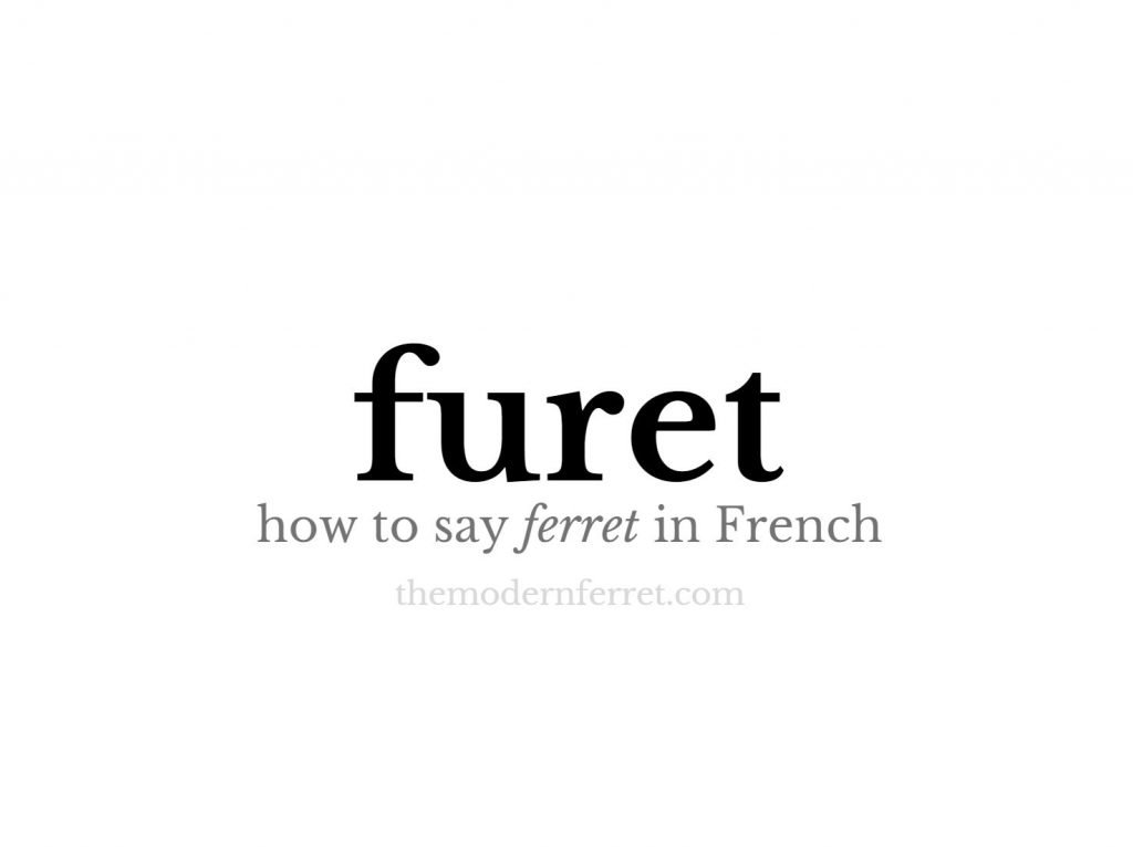 how to say ferret in french