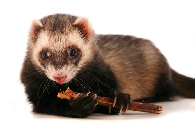 ferret intestinal blockages