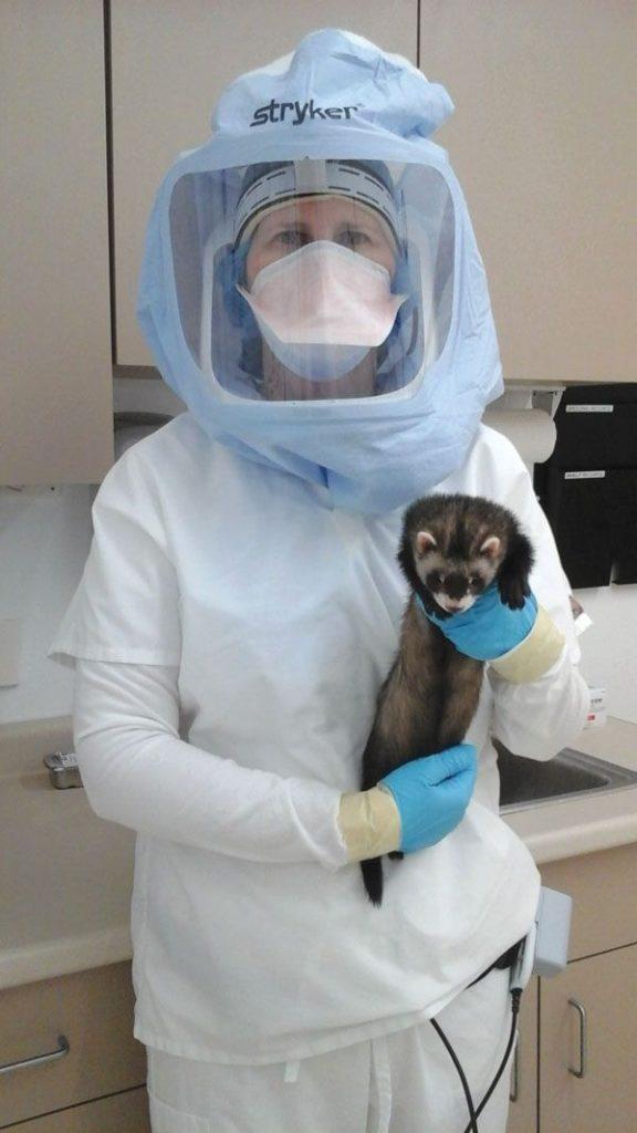 can ferrets get coronavirus