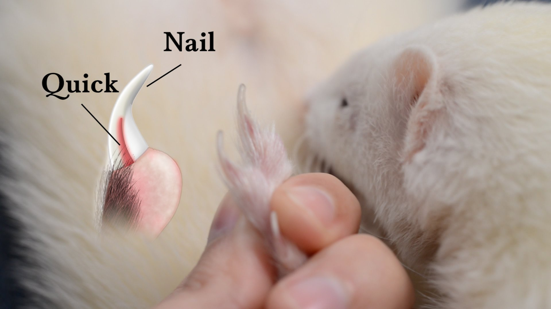 how to cut ferrets nails
